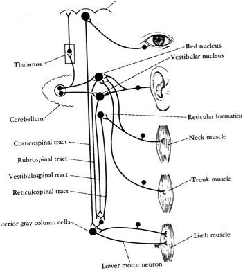The correlation of sensory neuron—motor center and lower motor neuron